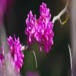 豆科紫荆花怎
