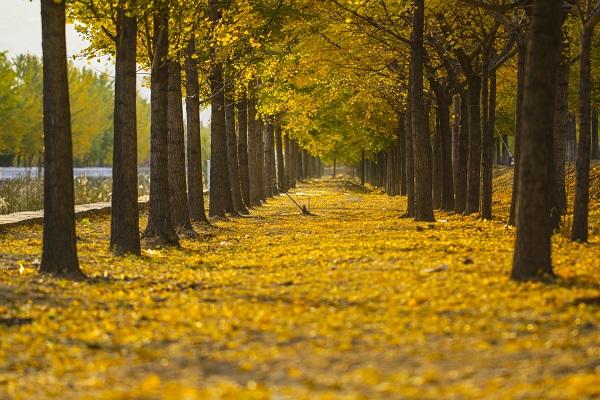 梦见银杏树有什么预兆 梦见银杏树好不好